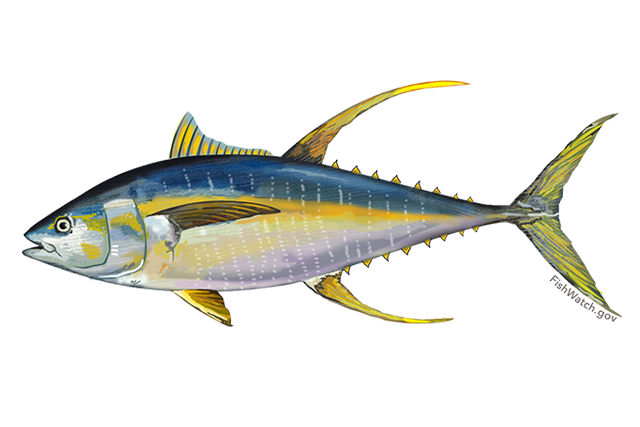 Yellowfin Fisheries.noaa.gov.png
