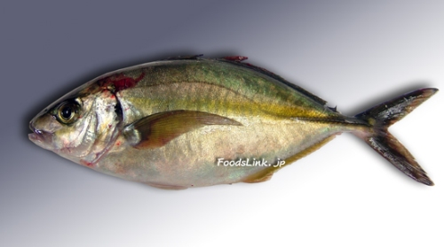 This photo is regular Shima Aji  Courtesy of Foodslink.jp