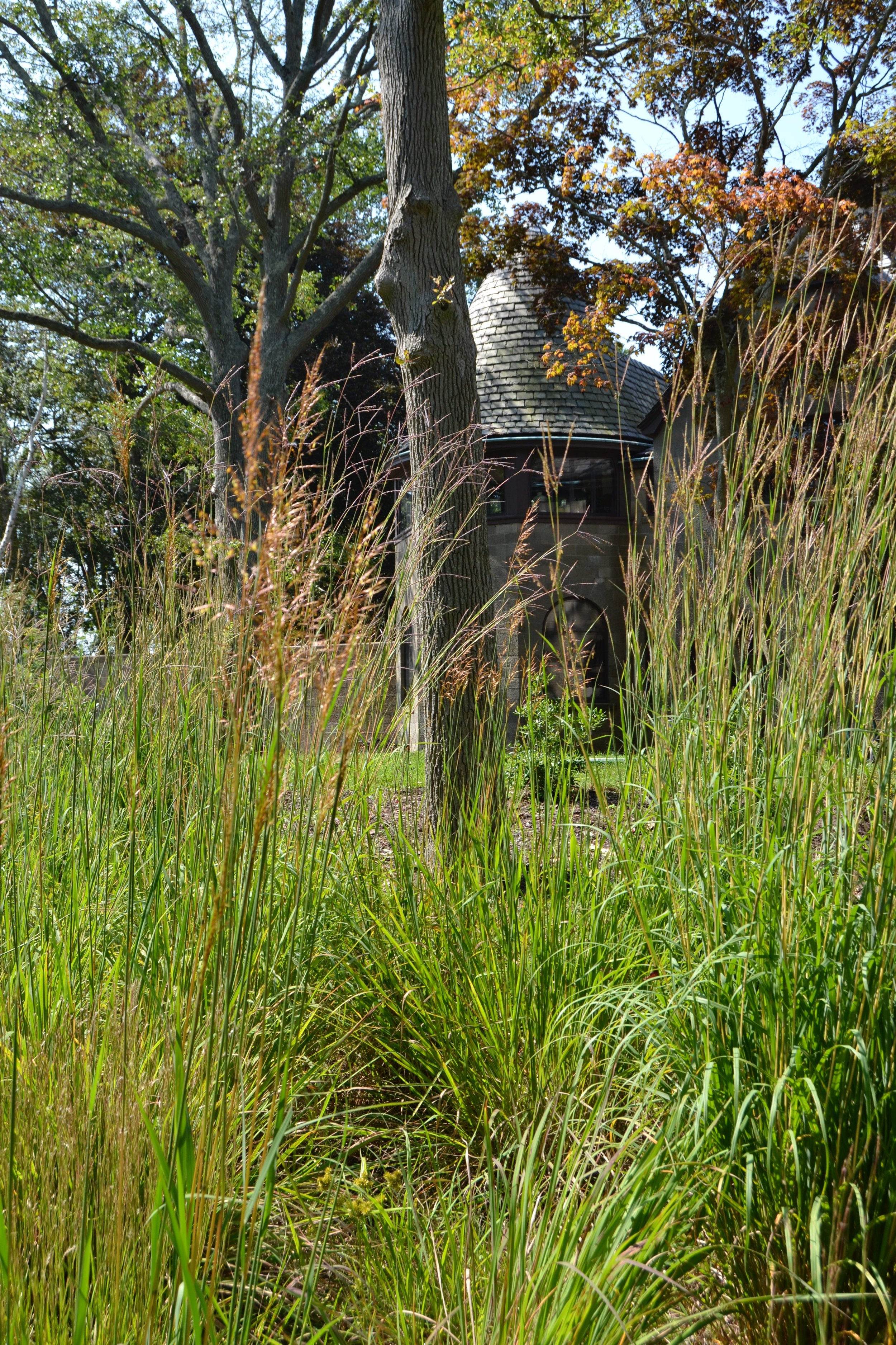Meadow - A meadow of native grasses replaces lawn and screens a septic system at Seatuck Environmental Association
