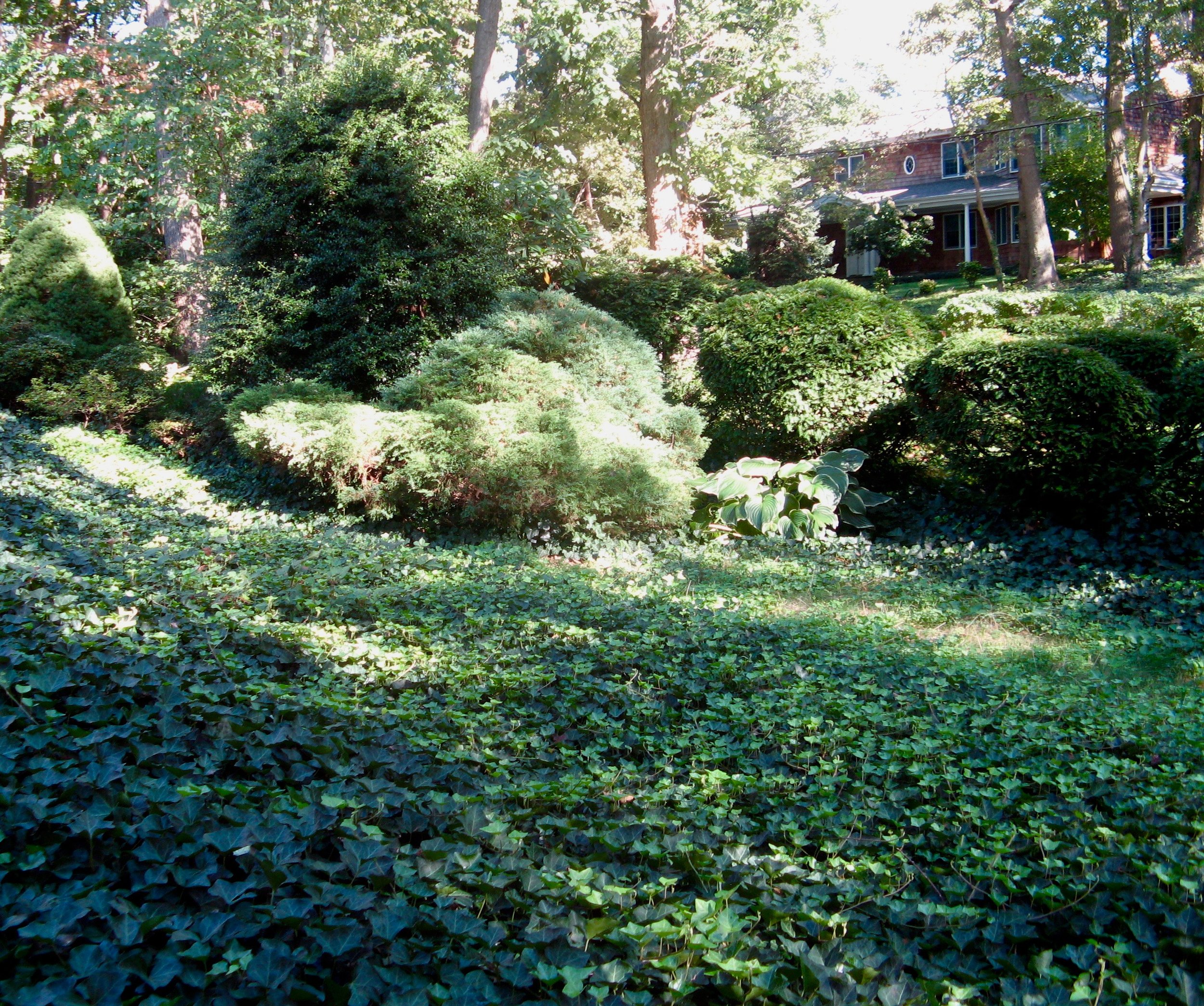 Ivy-covered Lawn