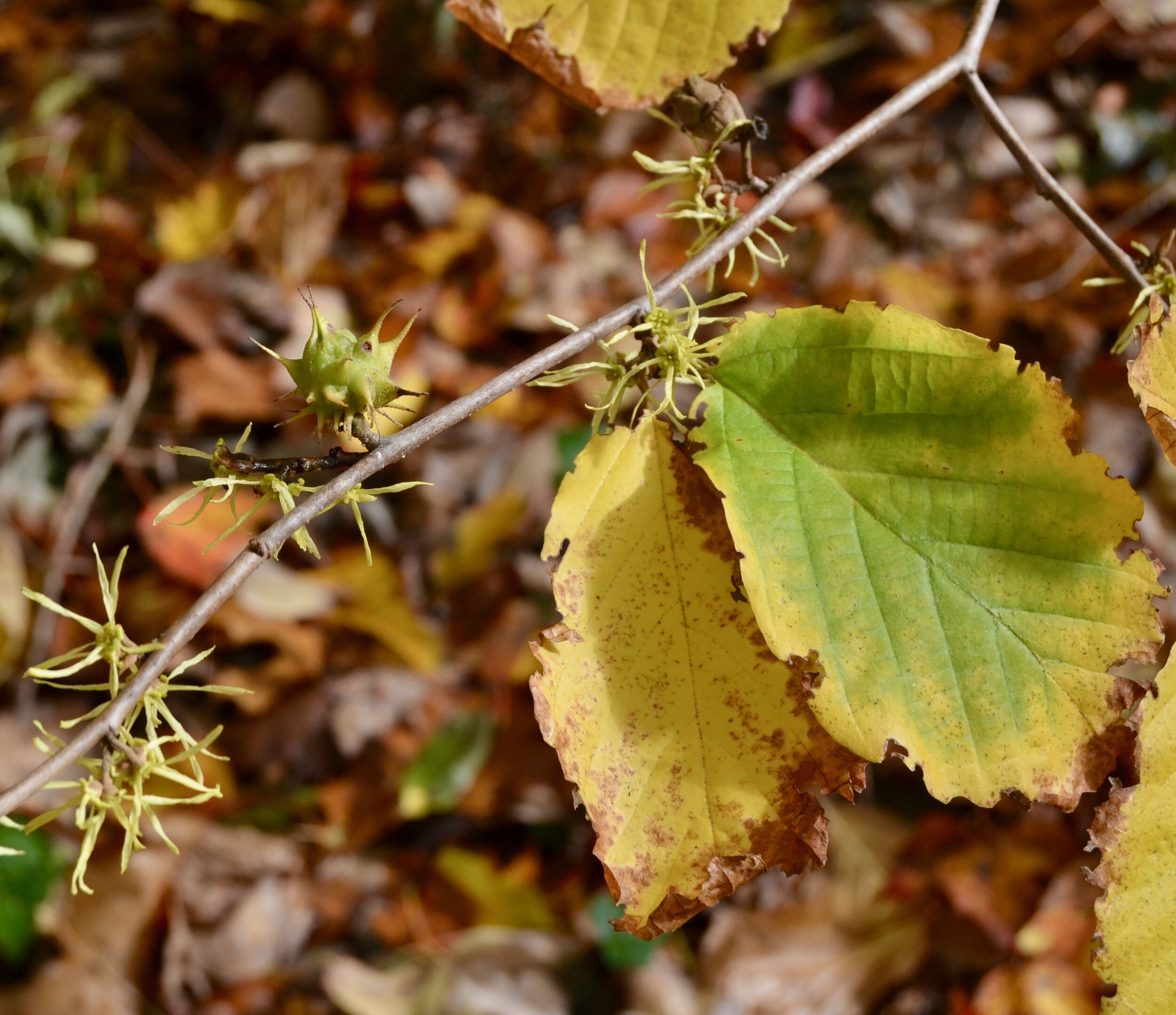 witch hazel flowers and gall.jpg