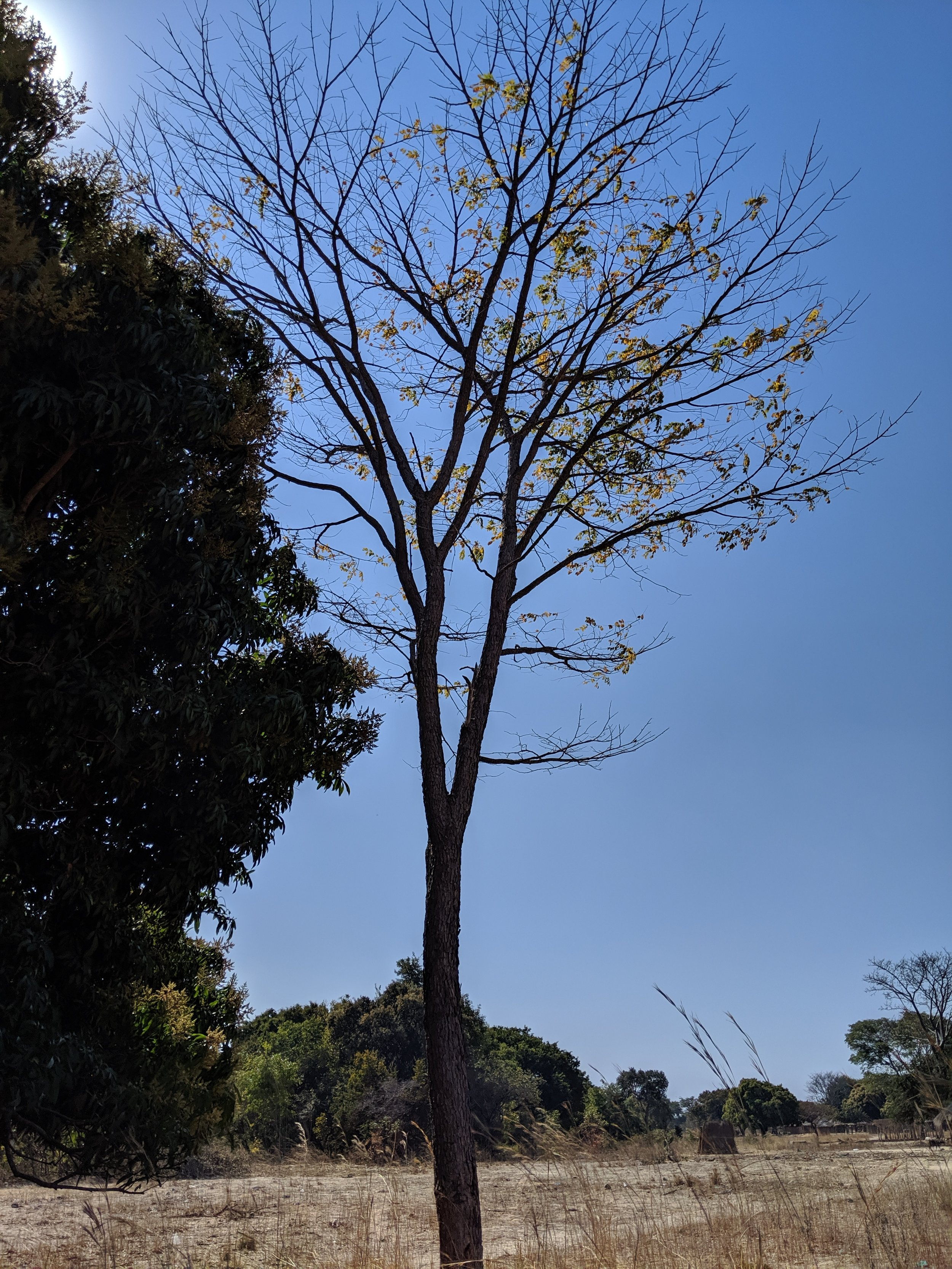 A young African teak tree or mukwa