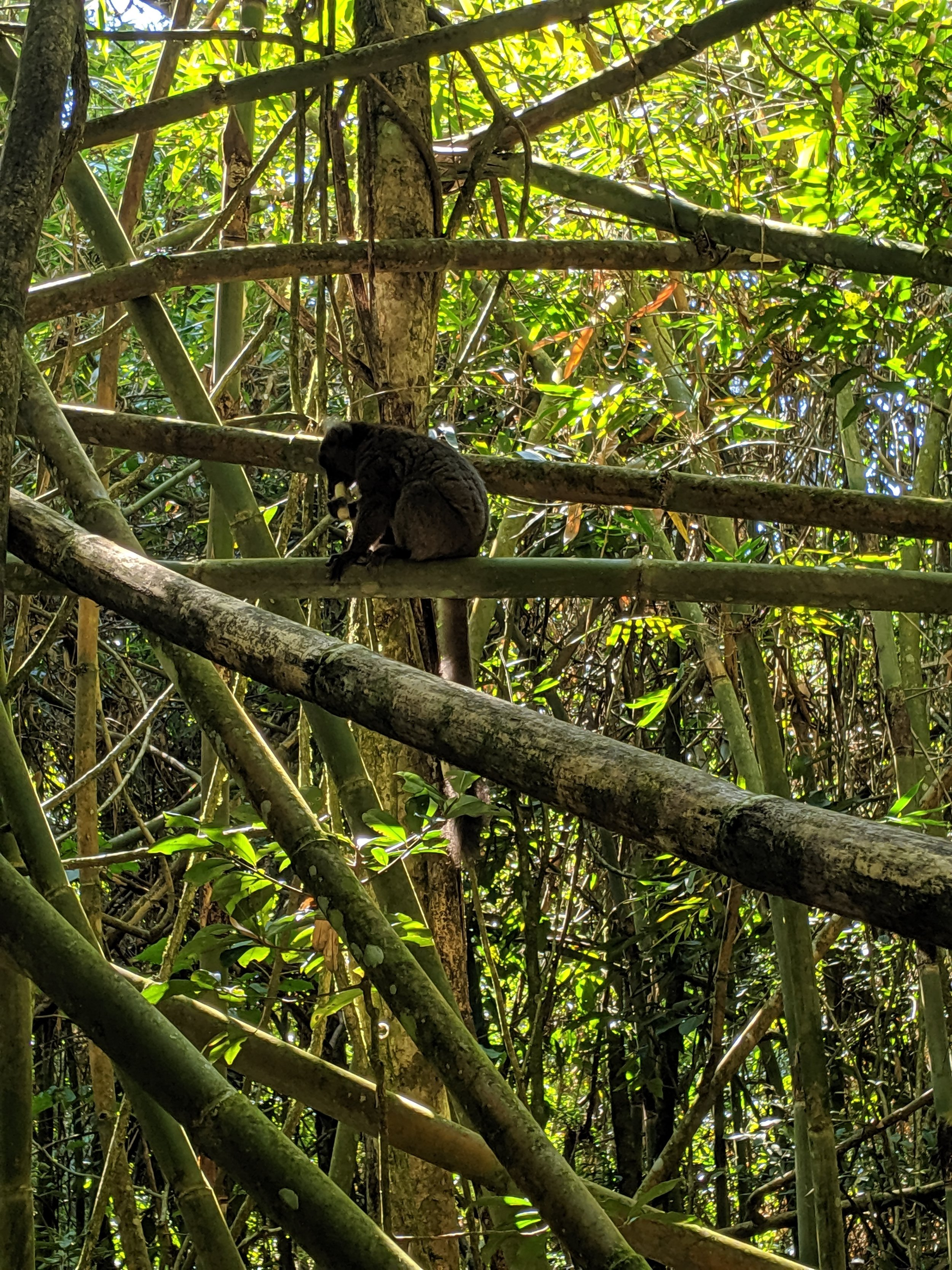 As you might expect, a greater bamboo lemur eating bamboo.