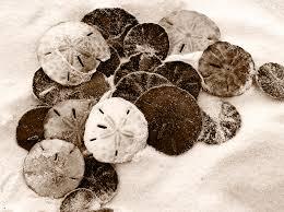 sand dollars.jpg