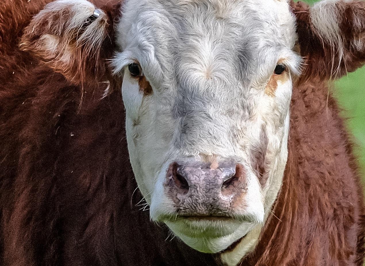 Brown+Cow.jpg