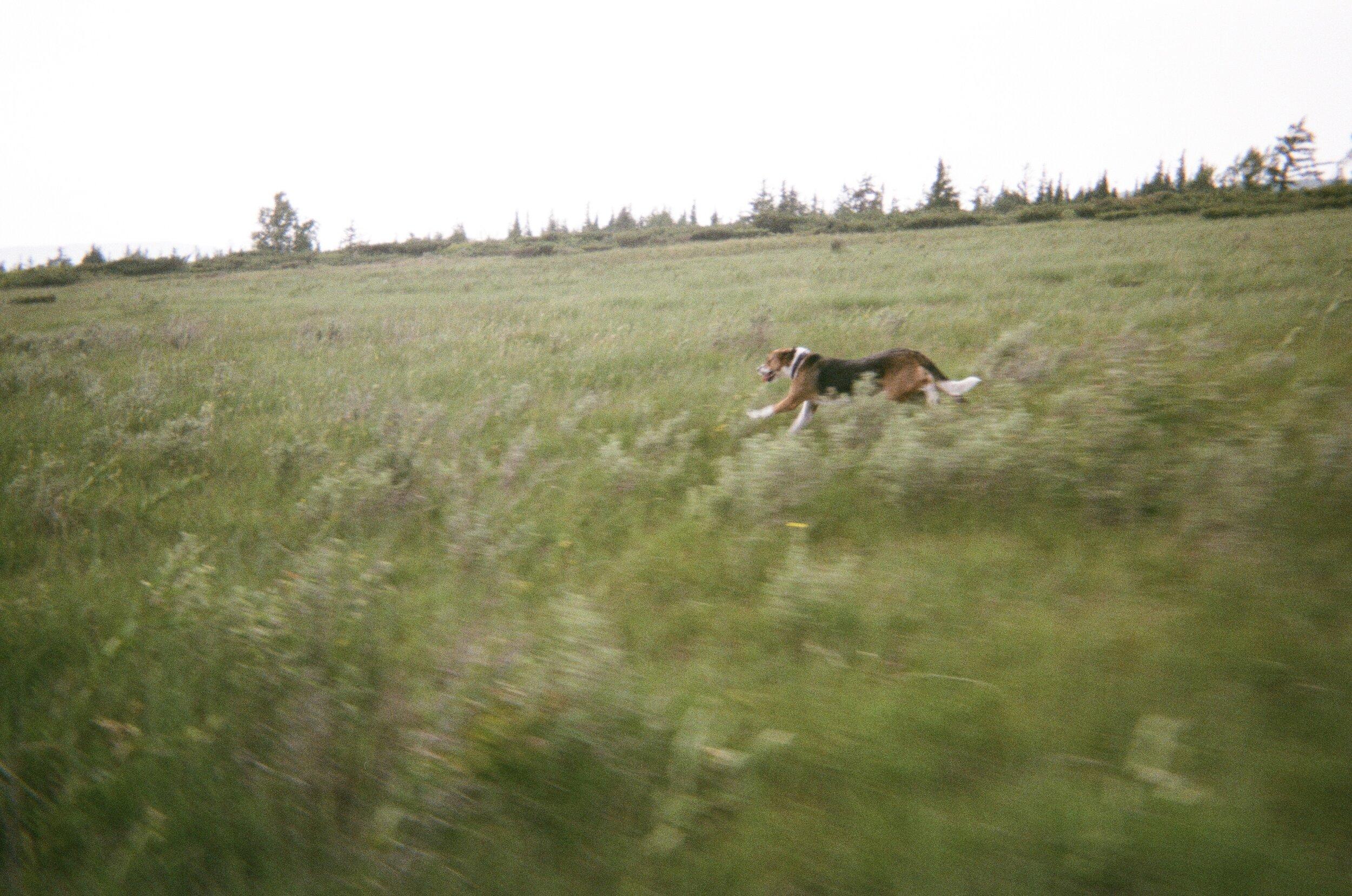 running dog.jpg