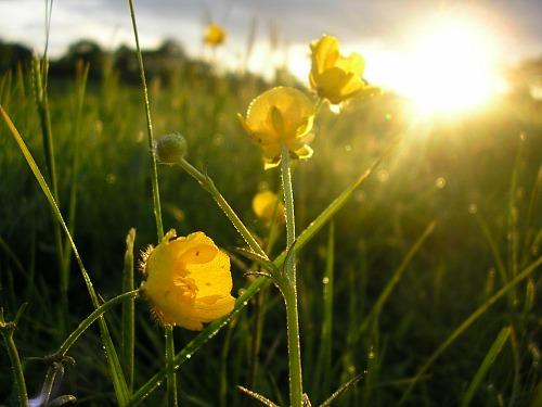 small.yellow.flowerfield.doctor.bob.Morguefile.jpg