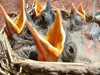 sm.baby.birds.shadetree.Morguefile.jpg