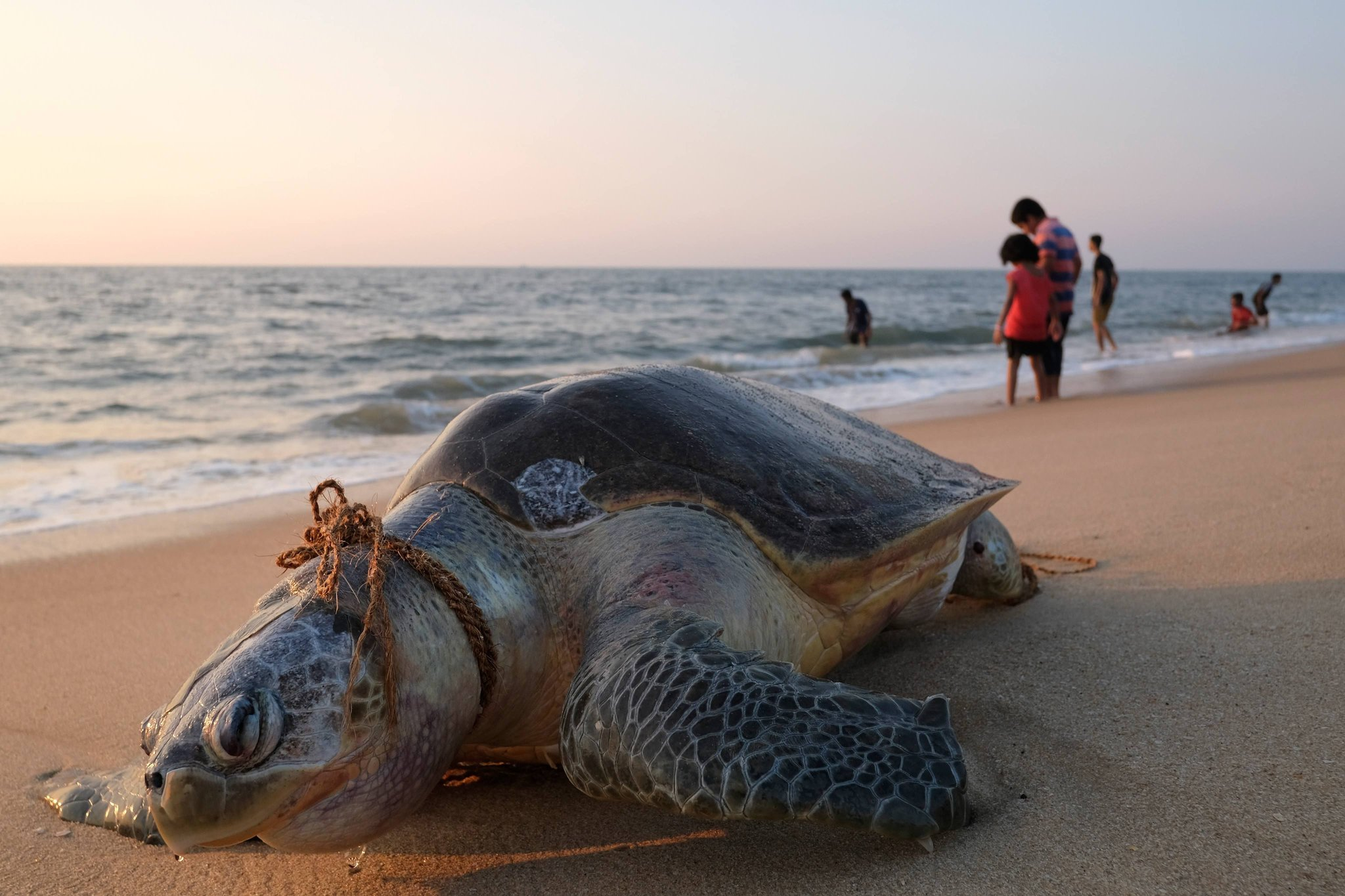 Fishing nets and ropes are a frequent hazard for olive ridley sea turtles, seen on a beach in India's Kerala state in January. A new 1,500-page report by the United Nations is the most exhaustive look yet at the decline in biodiversity across the globe. Credit Soren Andersson/Agence France-Presse — Getty Images