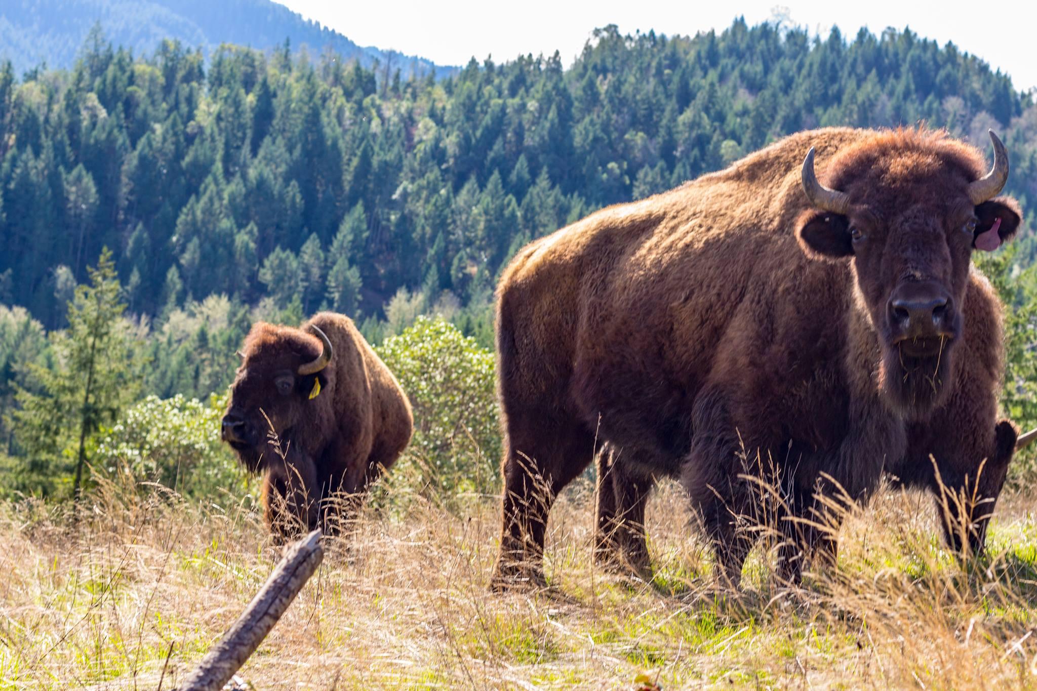 bison 15.jpg