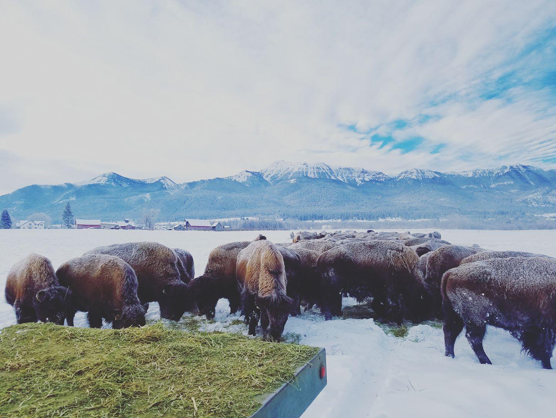 bison 11.jpg