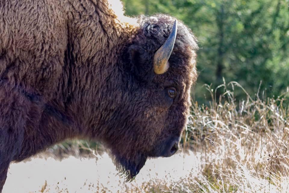 bison 14.jpg