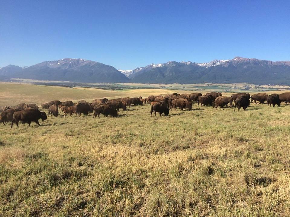 bison 10.jpg