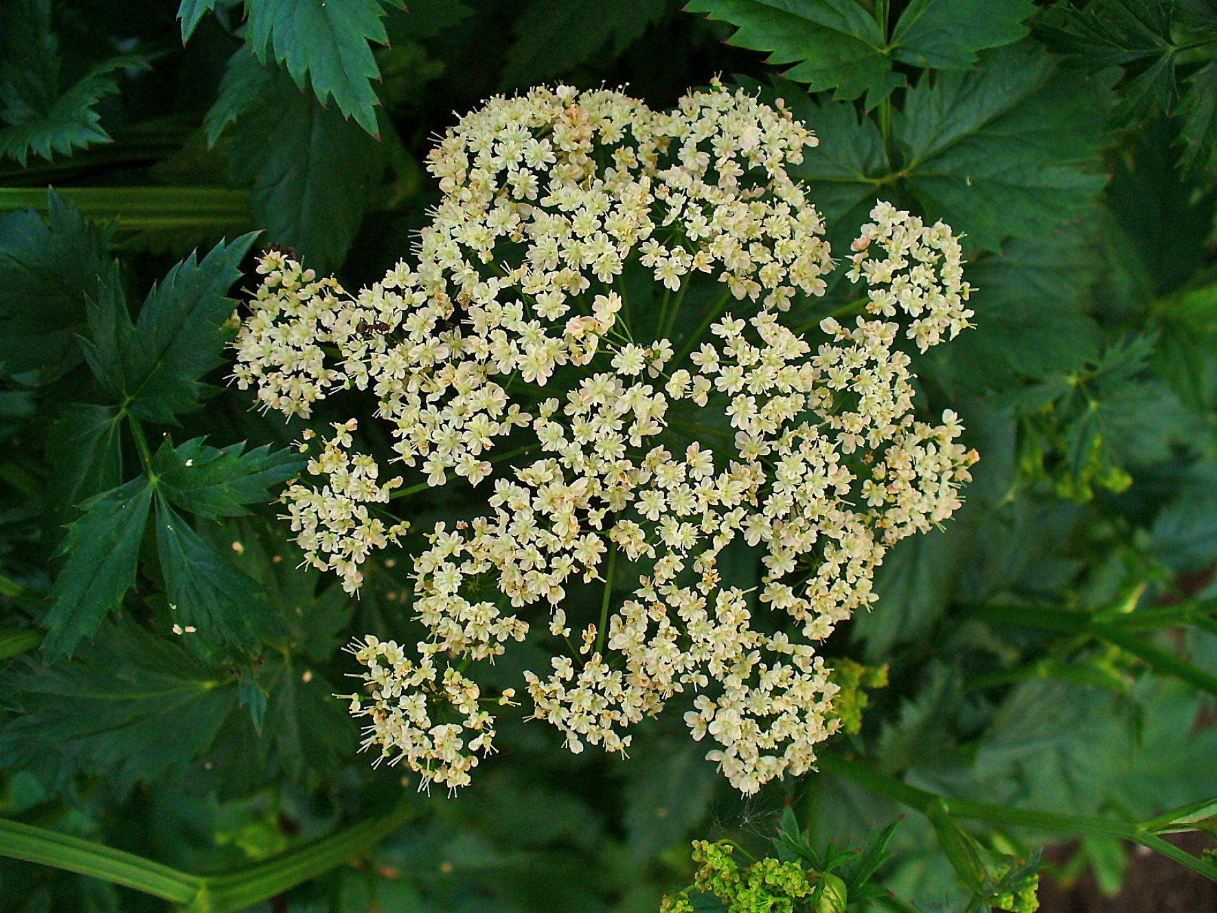Pimpinella_major_002.JPG