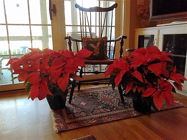 - The James City County Rotary Club and its Satellite Club sold over 525 poinsettias this year, exceeding our top sales record by well over 100 plants. ,