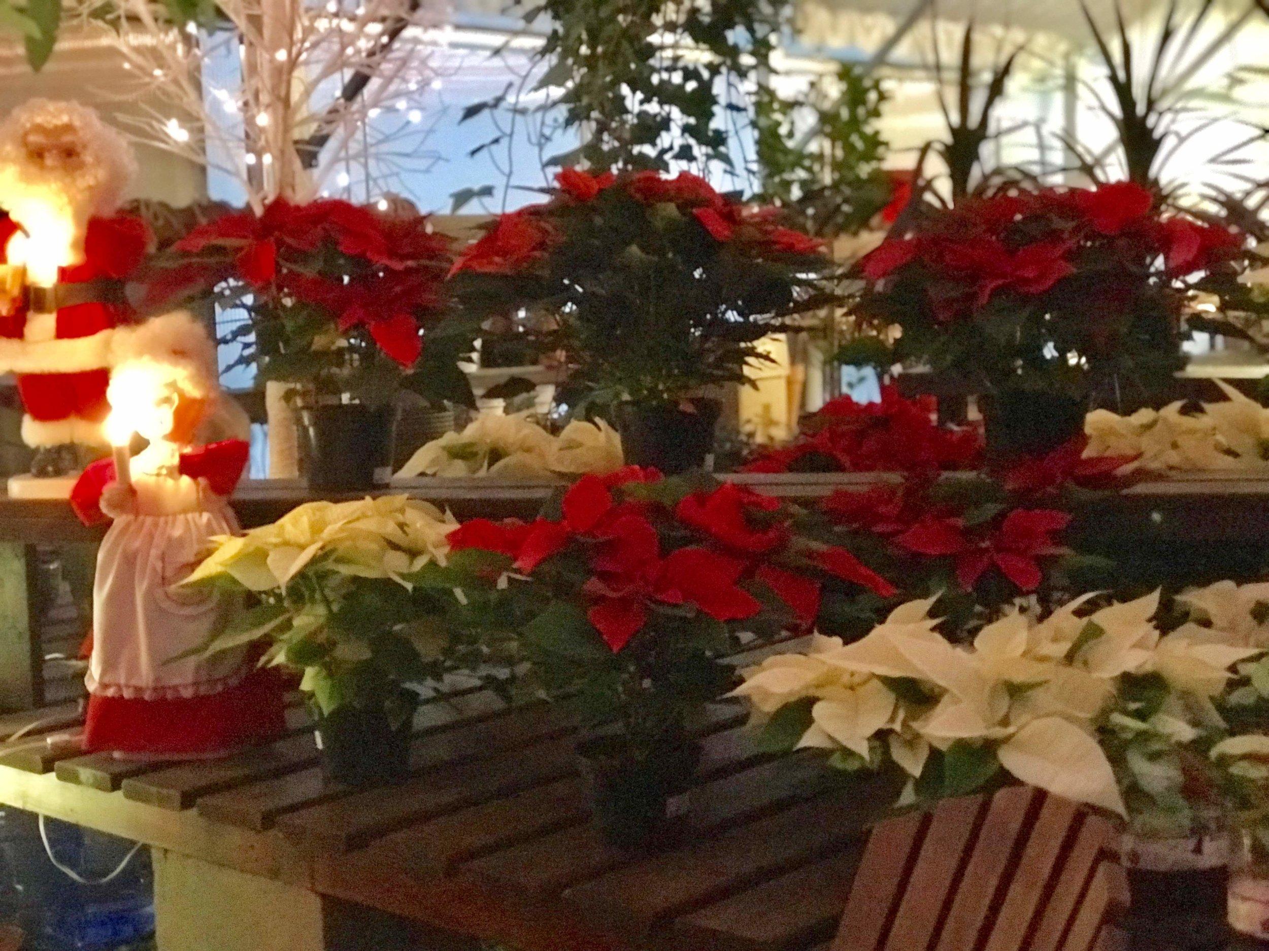 Poinsettias at Christmas