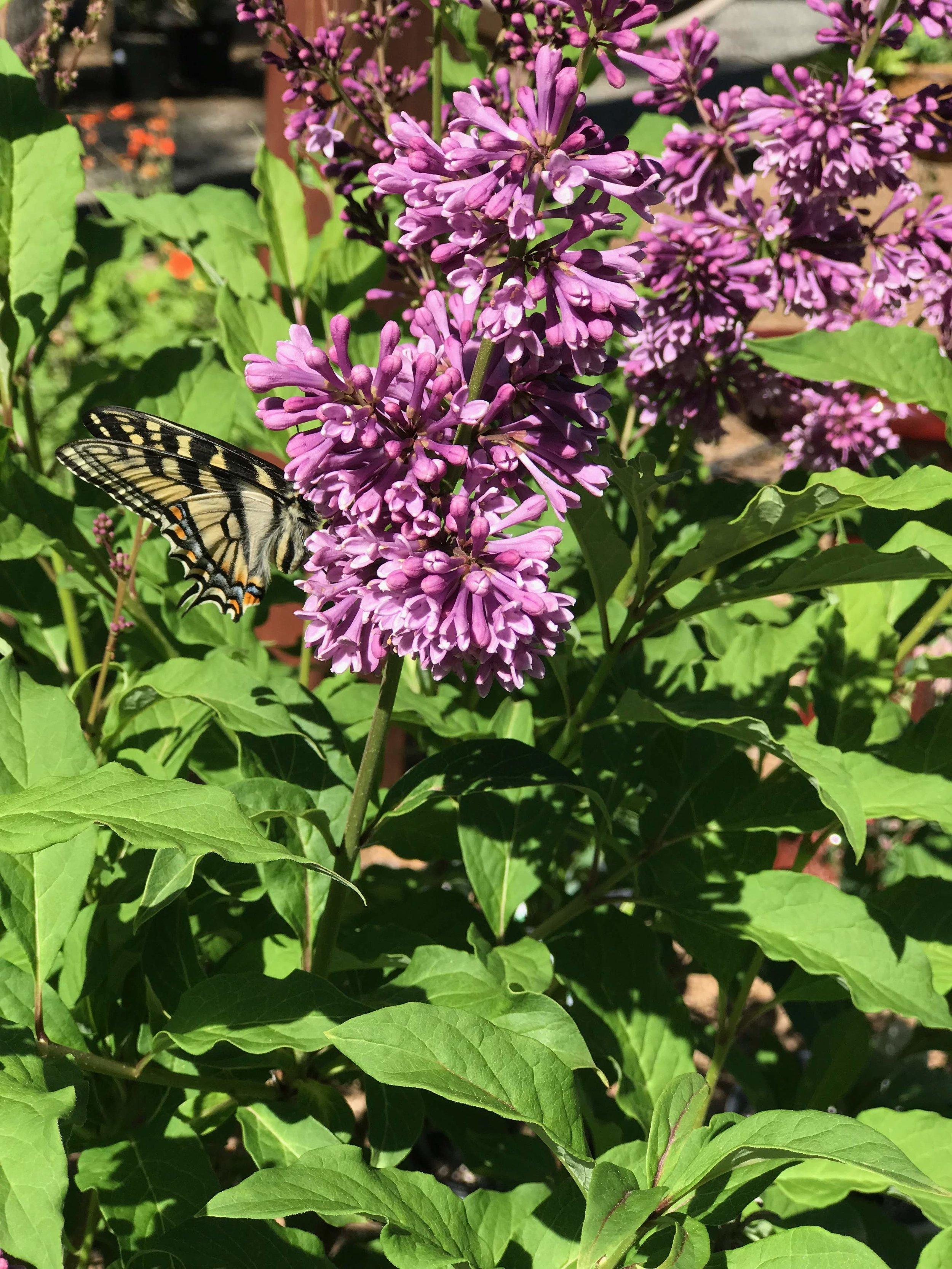 Butterfly enjoying our Lilac bush
