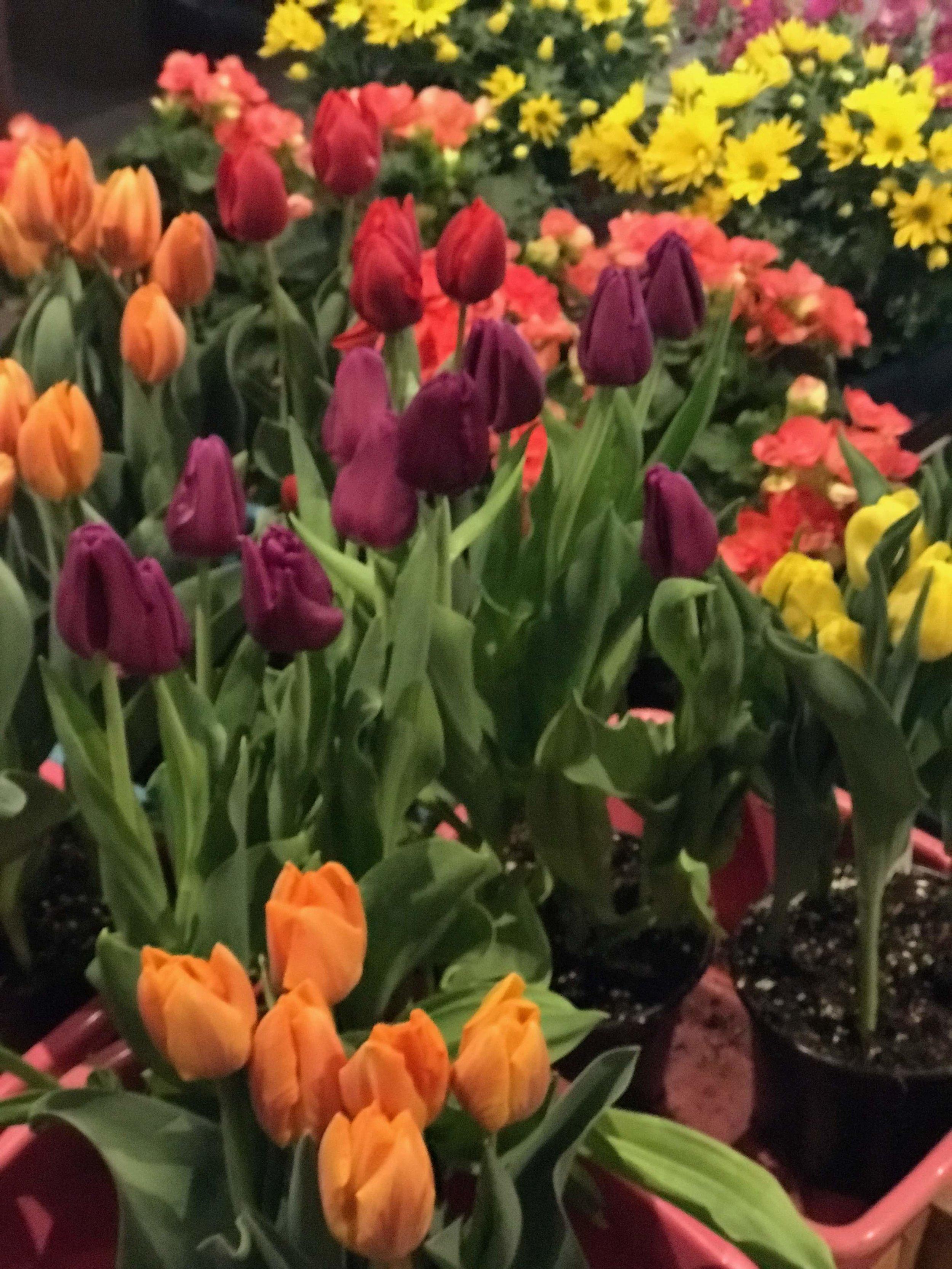 Spring Tulips for Easter celebrations