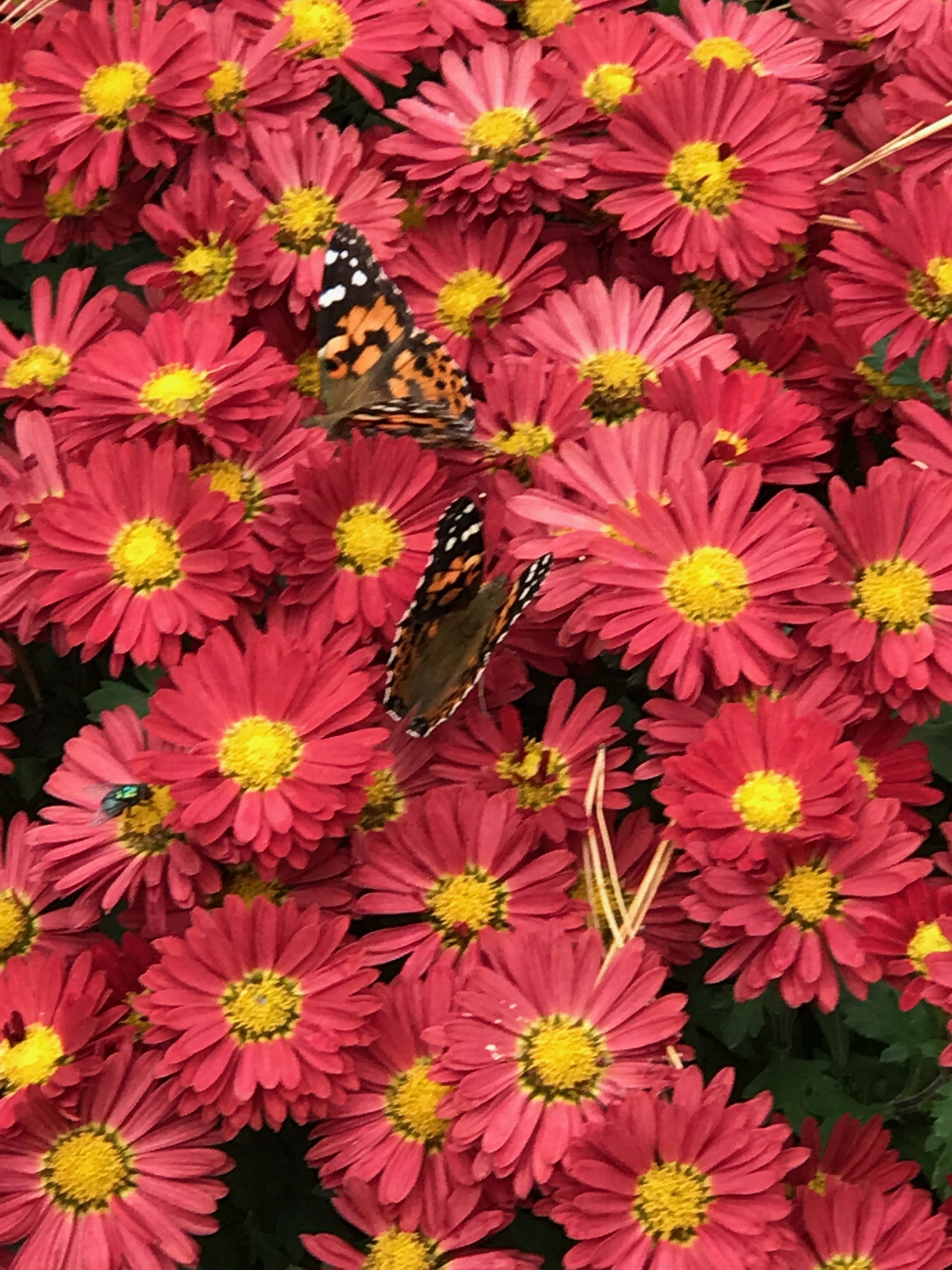 Fall mums & asters