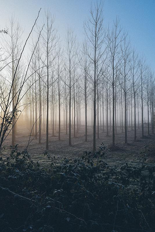 Poplars, SW France