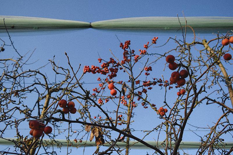 Frosty apple orchards, Lot et Garonne