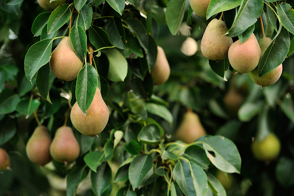 PEARS - We grow three varieties of Pears: Conference, Comice and Concorde. A commercial pear orchard can last up to 30 years which makes it a great investment for future generations. We sell all our pears to UK premier retailers from September to June.