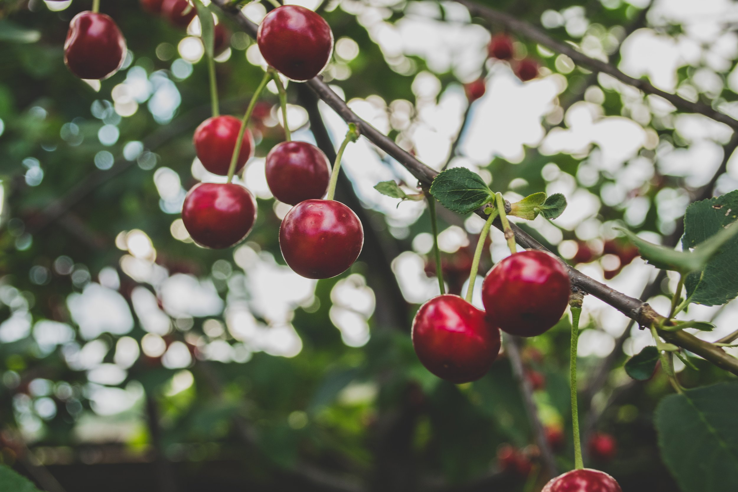 CHERRIES - The sweeties of our fruit, we grow varieties such as Kordia, Lapins, Penny, Regina, Sasha and Skeena. You can't beat a Great British Cherry.
