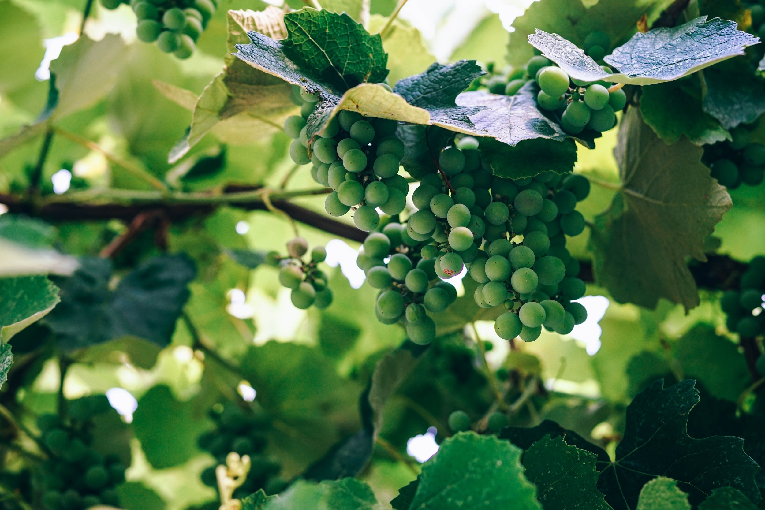 GRAPES - We are planting our first 8ha vineyard in 2019 with Chardonnay vines. The grapes that are produced are destined to be made into high quality English Sparkling Wine.