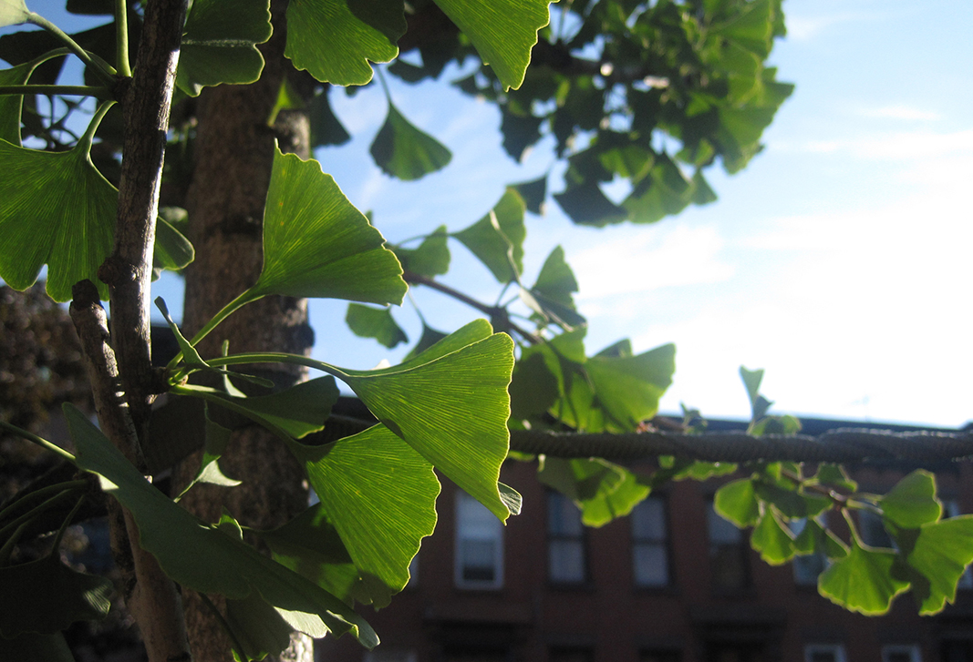 morning-gingko_4836107673_o.jpg
