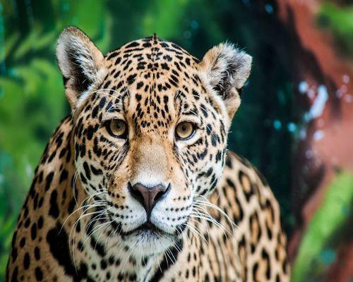 jaguar peru travel inspiration a2d boutique concierge.jpg