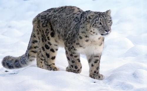 snow leopard mongolia travel ideas a2d concierge.jpg
