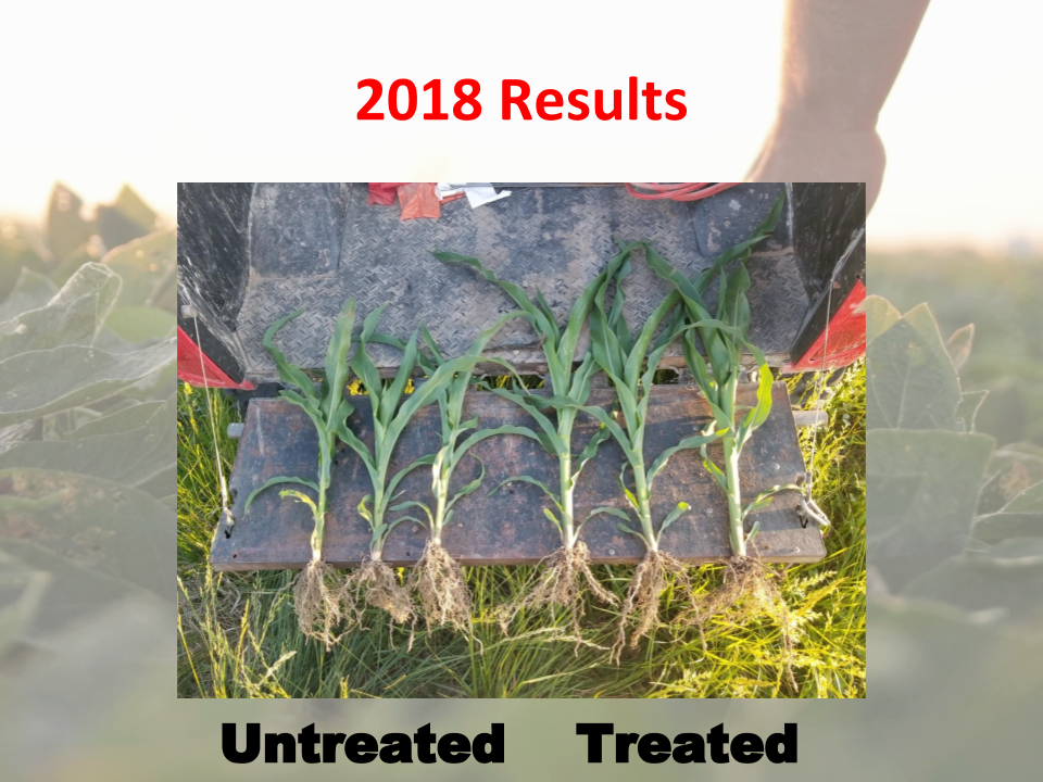 Corn plants managed for biology were healthier, more resilient and higher yielding.
