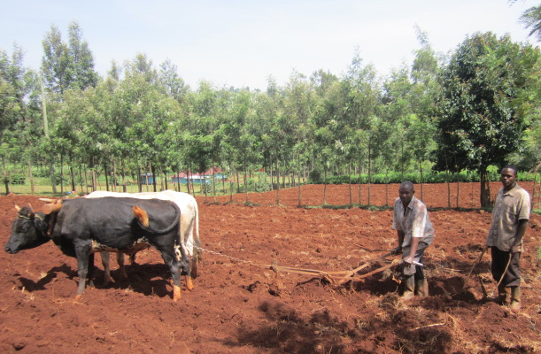 The bulls plowing a part of our new land.
