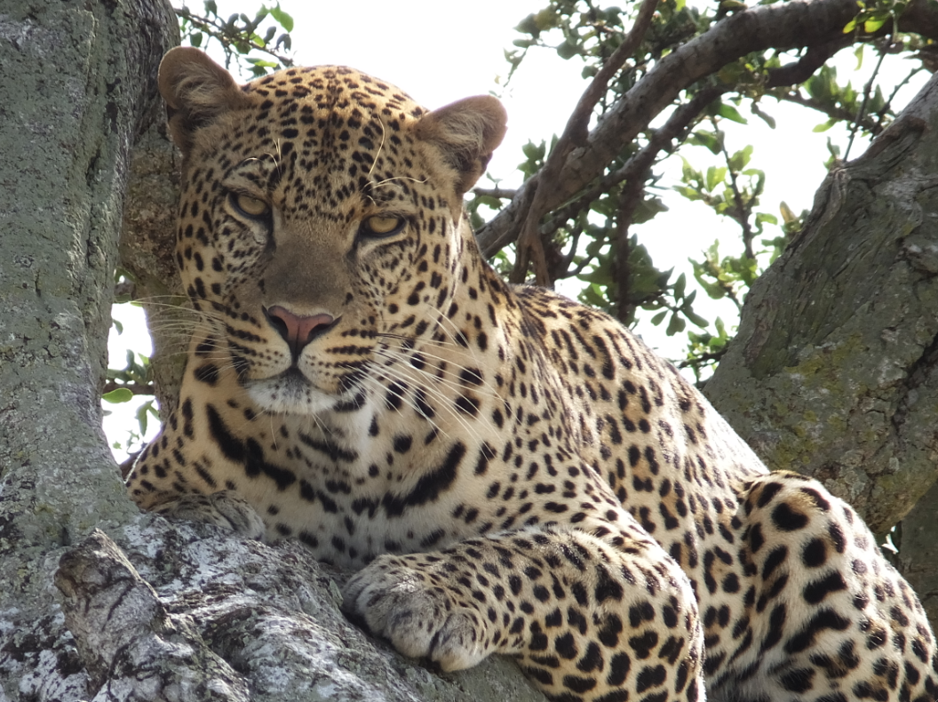 My favorite photo from our family safari - a photo that my mom took of the always elsusive leopard.