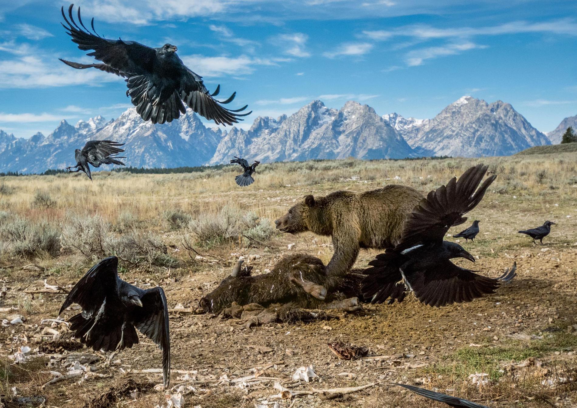 teton-grizzly-feeding.ngsversion.1482289627463.adapt.1900.1.jpg