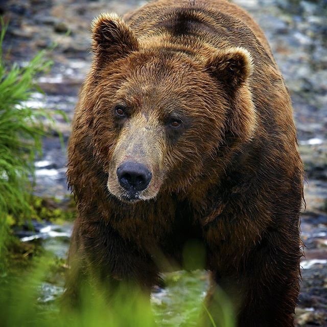 Being in bear country on a regular basis, we are always reminding ourselves that there can be a bear around the next bush or the next turn in the trail. Take the time to educate yourself on what to do if you encounter a bear. #bearspray #grizzly #staycalm