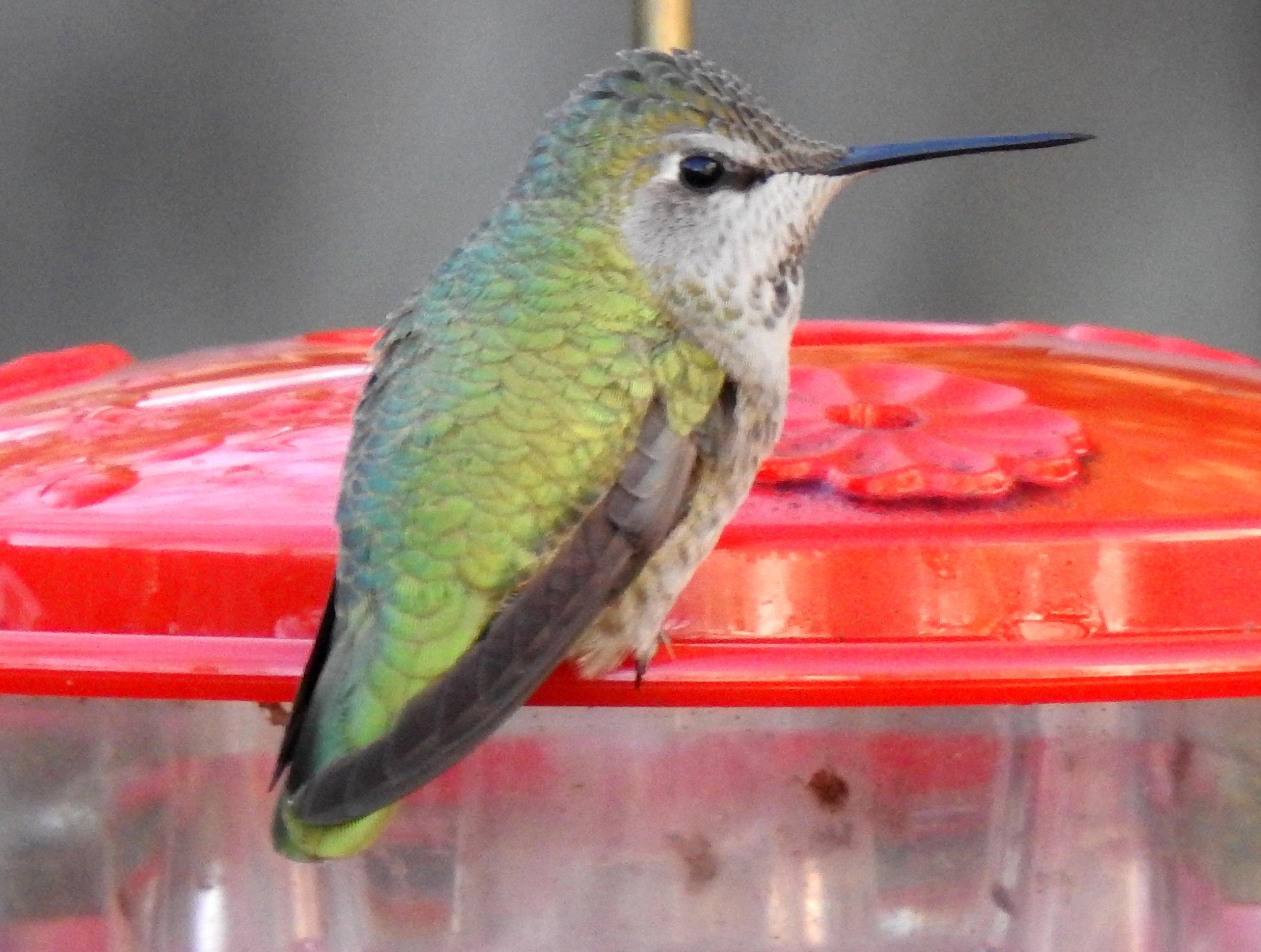 Anna's Hummingbird.jpg