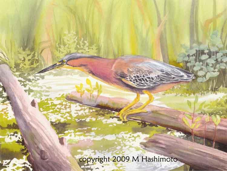 Green Heron, Union Bay - Giclee Print $75