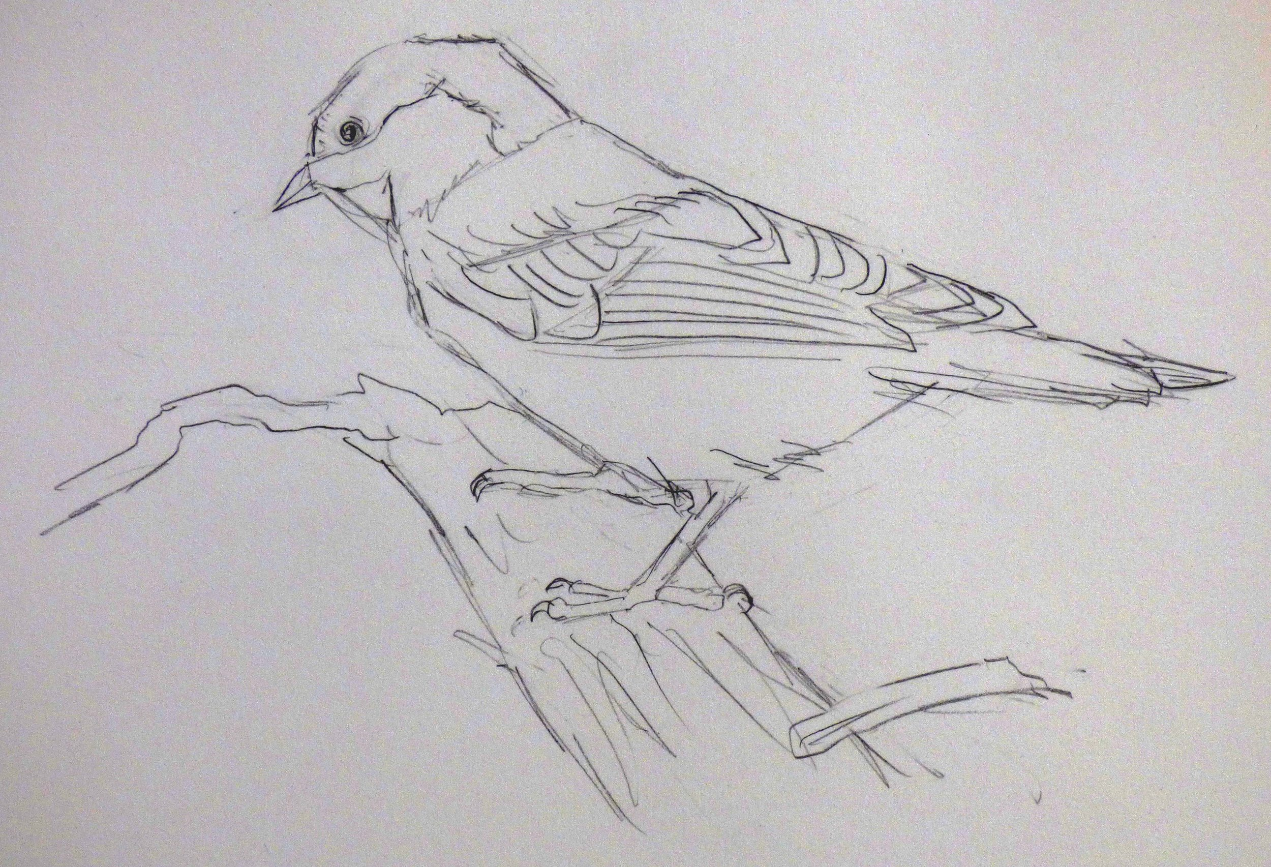 Chickadee Drawing.jpg