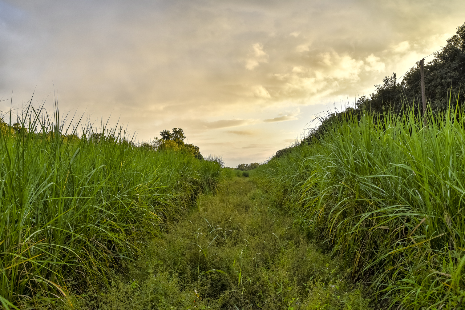 Sugarcane fields, sunset