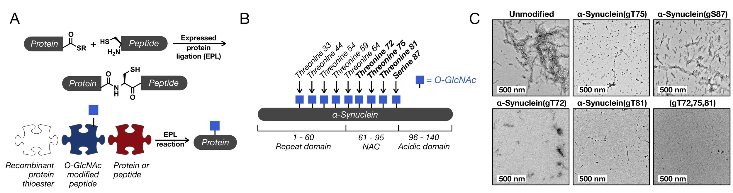 Figure 2. Synthesis of O-GlcNAcylated proteins and our application to α-synuclein.  (A) Expressed protein ligation (EPL) enables the selective reaction of recombinant and synthetic protein fragments in water with no protecting groups. Currently, this is the only way to make site-specifically O-GlcNAcylated proteins. (B) α-Synuclein is a small protein consisting of three domains: an N-terminal repeat domain that mediates its interactions with membranes, the central non-amyloid component (NAC) domain that is responsible for protein aggregation, and a C-terminal acidic domain. Nine different serines and threonines in α-synuclein have been found to be O-GlcNAcylated. We have studied the four different sites bolded. (C) O-GlcNAc alters the aggregation of α-synuclein monomers into fibers. Unmodified α-synuclein or the indicated O-GlcNAcylated proteins (50 μM) were subjected to aggregation conditions (agitation at 37 °C). After 168 h, the reactions were analyzed by transmission electron microscopy (TEM).
