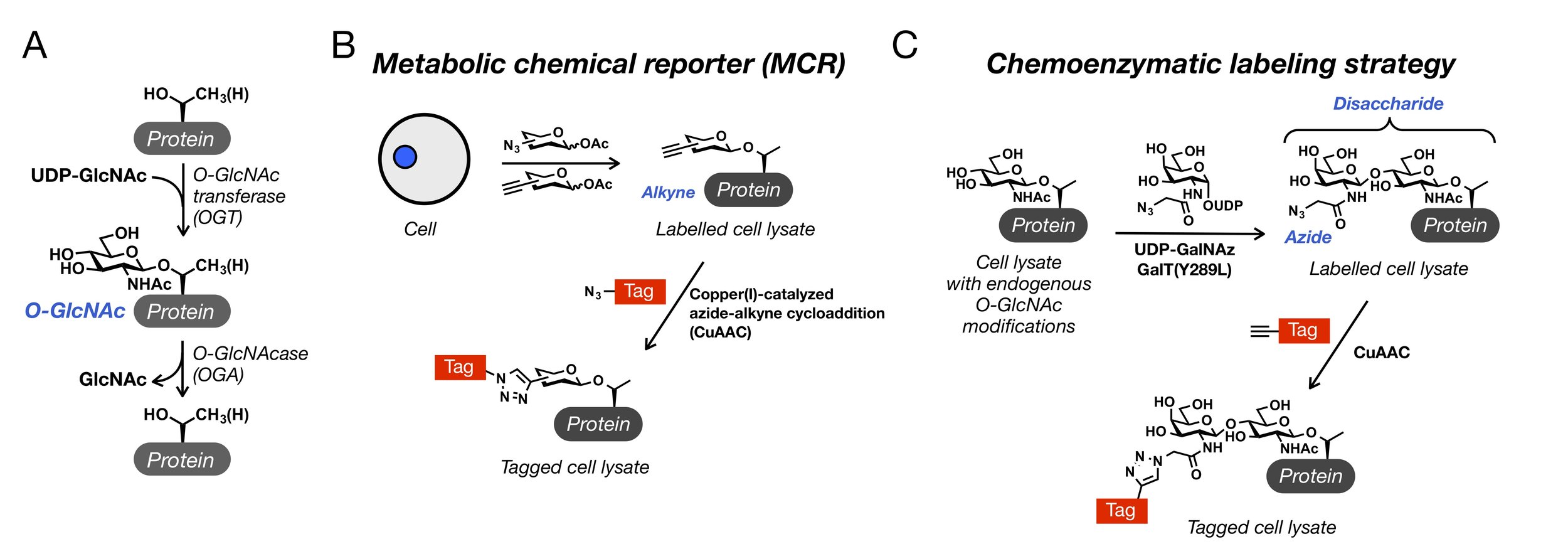 Figure 1. O-GlcNAc and our chemical strategies to study it.  (A) O-GlcNAc is a dynamic posttranslational modification of serine and threonine residues of many intracellular proteins. (B) Living cells will metabolize a variety of metabolic chemical reporters (MCRs) and add them onto glycoproteins in-place of natural monosaccharides. The azide or alkyne moieties can then be reacted with tags using bioorthogonal chemistries. (C) Endogenous O-GlcNAc modifications can be detected by  ex vivo  enzymatic modification followed by bioorthogonal reaction with tags, termed chemoenzymatic labeling.