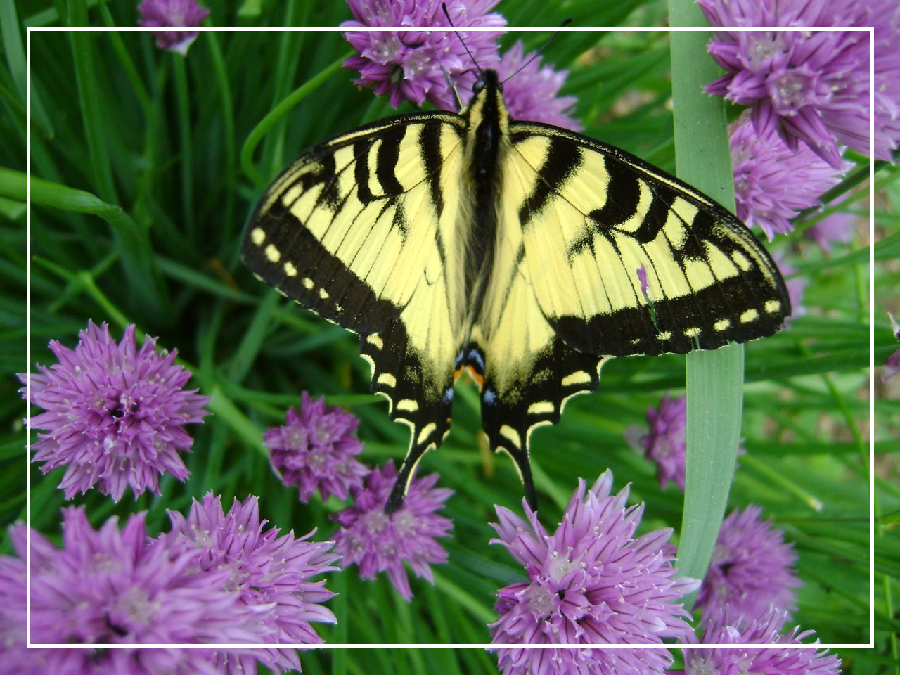 ButterflyonChives2.jpg