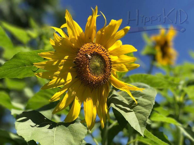 1044157219049555_sunflower_wm.jpg
