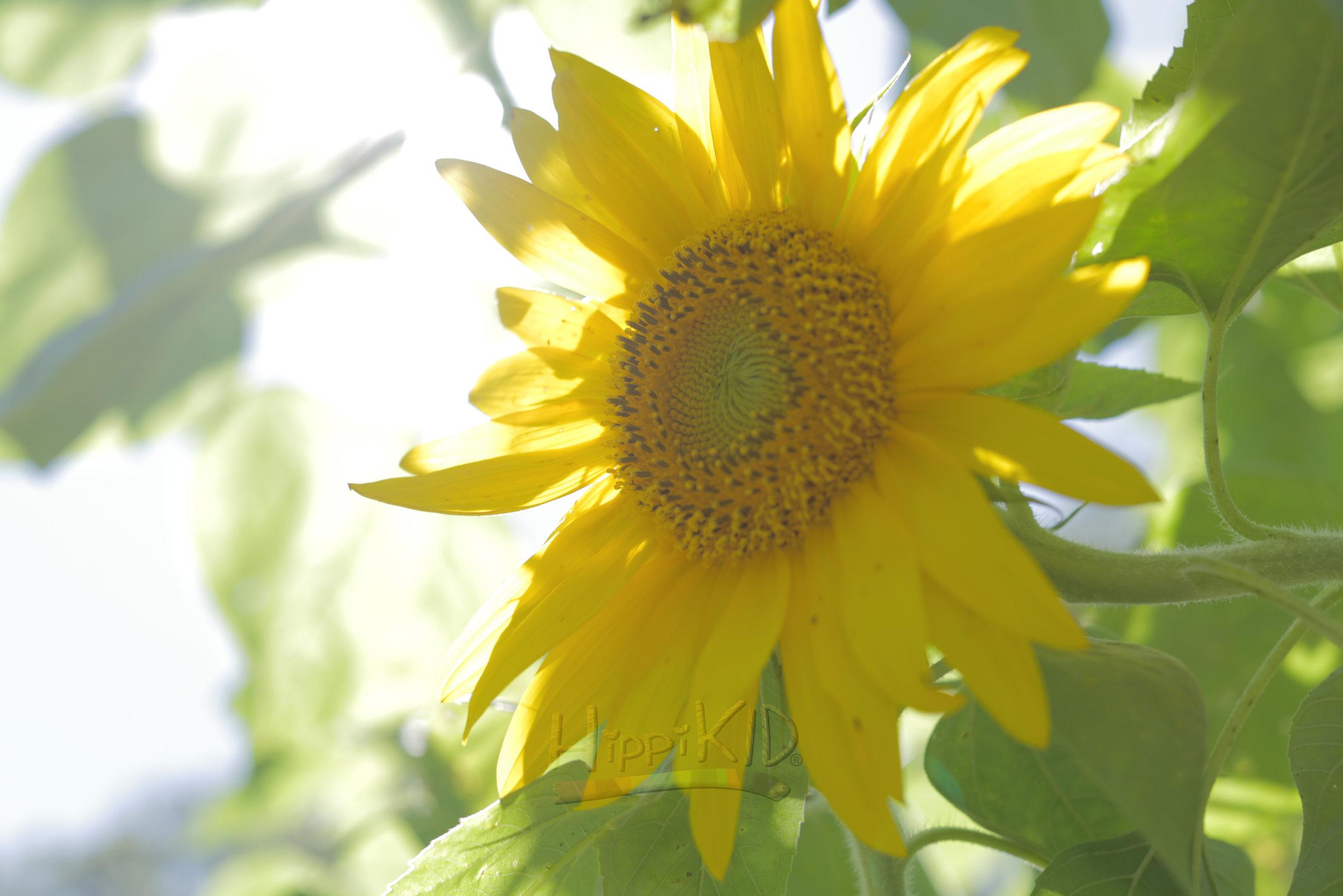 9U8A9060_sunflower2_wm.jpg
