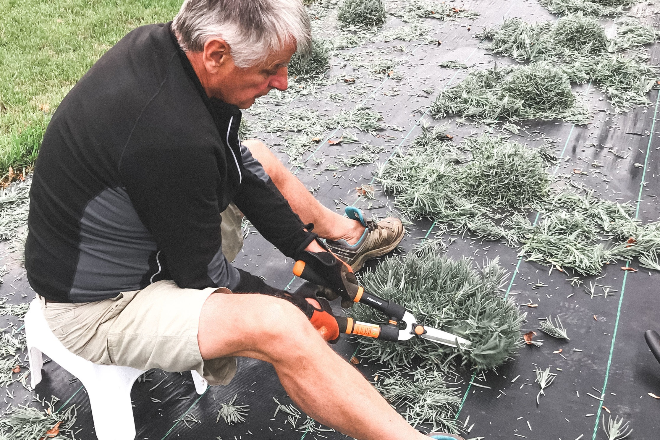 Pruning - By end of August all the plants have to be pruned to prepare them for winter and a productive bloom next year.