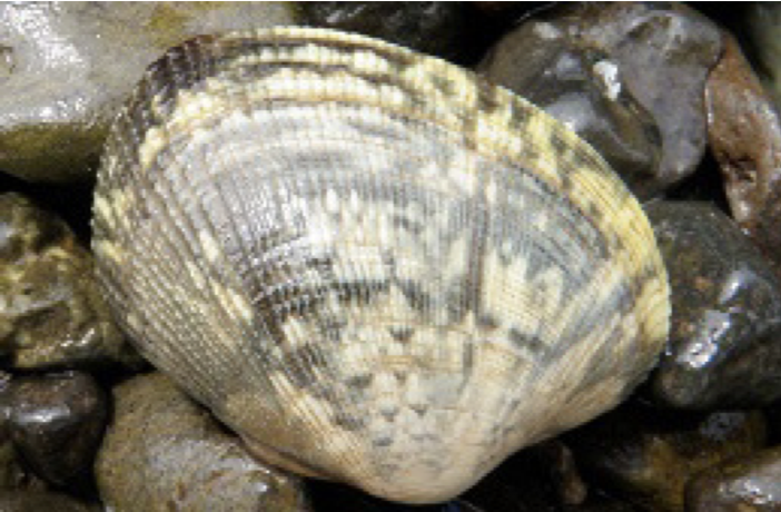 Manila Littleneck Clam