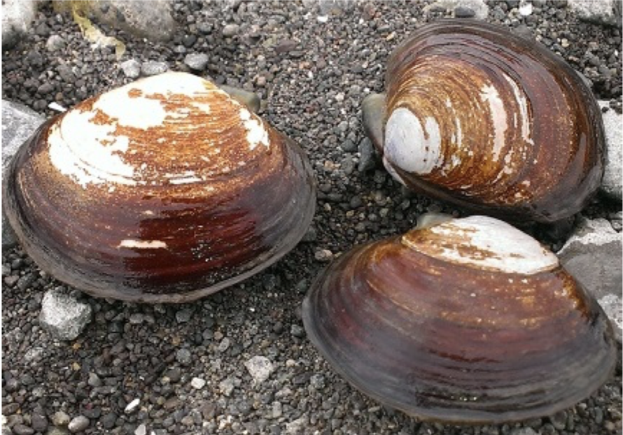 Varnish Clam