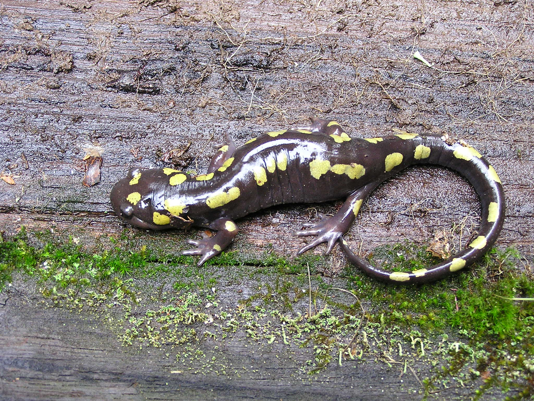 spotted salamander - Journey to whitetop mountain where you will find multiple rare species of salamanders, some of which are only found on two or three mountain tops in the world. The Appalachian mountain chain has the richest diversity of salamanders of any place in the world. This will be an easy walk through the woods and along the gravel whitetop mountain road searching for these tiny little creatures. Perfect trip for kids who love to turn over rocks and logs in order to find surprises out in the woods. Total time for this hike including transportation would be 3-4 hrs. Snacks, water, and supplies for examining the salamanders provided.