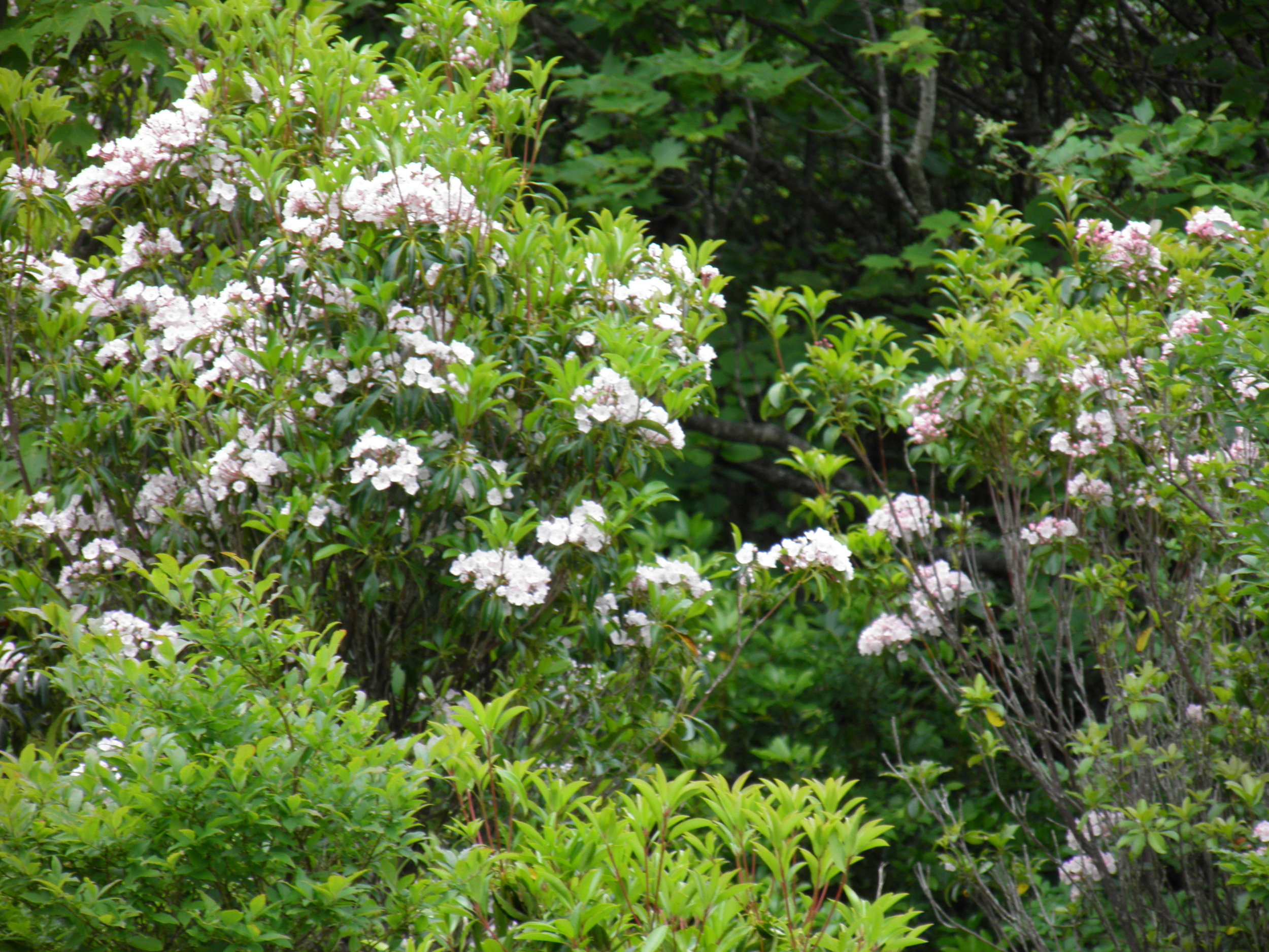mountain laurel - A 2.5 mile hike on the Rhododendron Gap Trail within Grayson Highlands State Park. This hike offers many chances to view wildflowers, including mountain laurel and rhododendron. It also offers many large rock outcroppings for you to explore and photograph. Typically the end of May and first three weeks of June are the best blooming times. Total time for this hike including transportation will be 4-5 hrs. Snacks, water, and park entrance fee included.